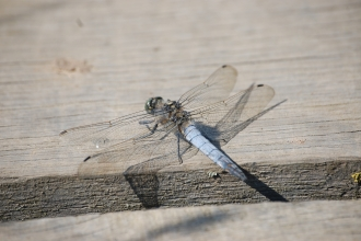 Black-tailed Skimmer male