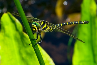 Golden-ringed Dragonfly