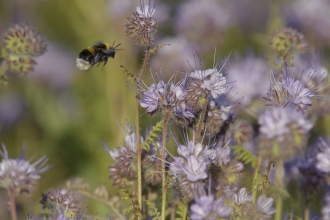 Buff tailed bumblebee - Chris Gomersal/l2020VISION