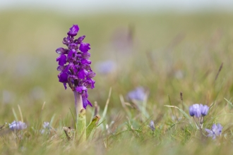 Green winged orchid - Mark Hamblin/2020VISION