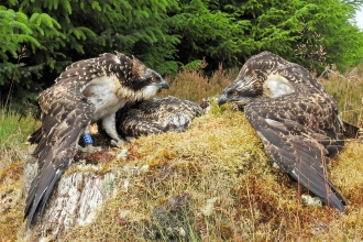 Osprey chicks ringed - Forestry Commission England