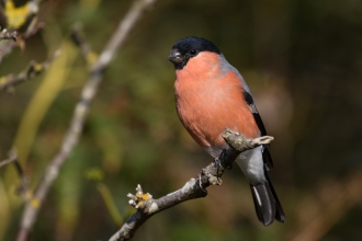 Bullfinch - Tim Mason