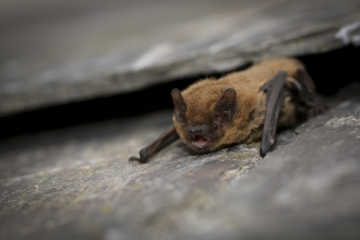Common pipistrelle - Tom Marshall