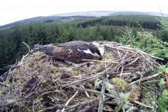 Kielder osprey incubating three eggs - Forestry Commission England