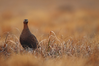 Red grouse - Luke Massey/2020VISION