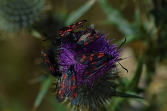 Six-spot Burnet - James Common