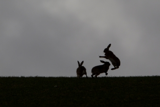 Brown hares - Mark Hamblin/2020VISION