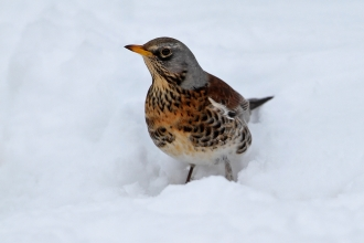 Fieldfare in the snow - Margaret Holland