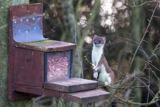 'Houdini' the stoat - Tim Mason