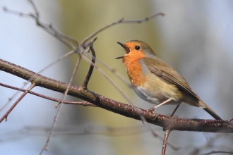 Robin at Kielder - Joel Ireland