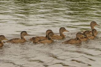 Duck and ducklings - Janet Packham