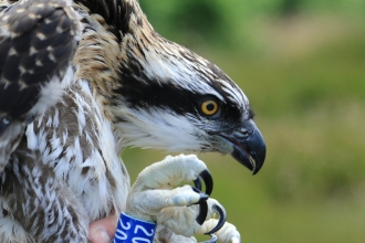 Osprey ringing - Joanna Dailey