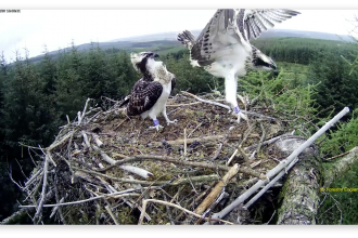 Ospreys at Kielder - Forestry England