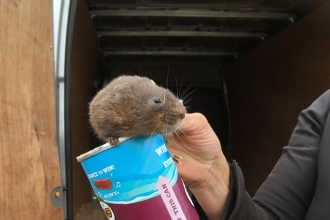 Water vole ready for release - Restoring Ratty