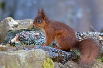 Red Squirrel - Steve Wrightson