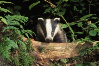 Badger - Allan Potts