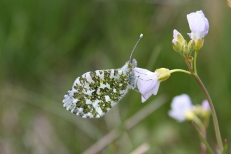Orange tip butterfly - Duncan Hutt