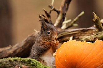 Red Squirrel Pumpkin - Andy Hankinson