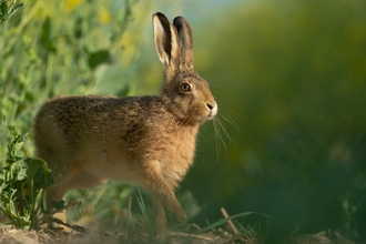Brown hare - Andrew Parkinson/2020VISION