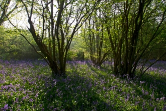 Bluebells - David Tipling/2020VISION