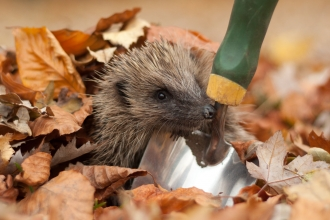 Hedgehog peering out from under autumn leaves next to garden trowel