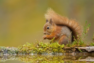 Red squirrel  - Mark Hamblin/2020VISION
