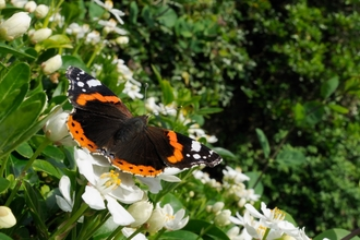 Red Admiral butterfly - Nick Upton/2020VISION