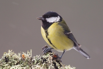 Great tit - Peter Cairns/2020VISION