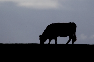 Cow silhouette - Peter Cairns/2020VISION