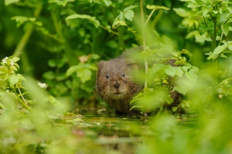 Water Vole - Terry Whittaker/2020VISION