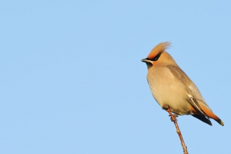 Waxwing - Terry Whittaker/2020VISION