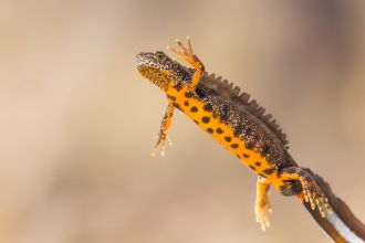 Great crested newt - Shutterstock