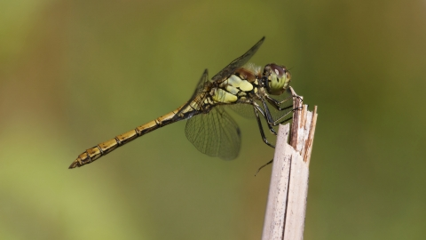 Common Darter female