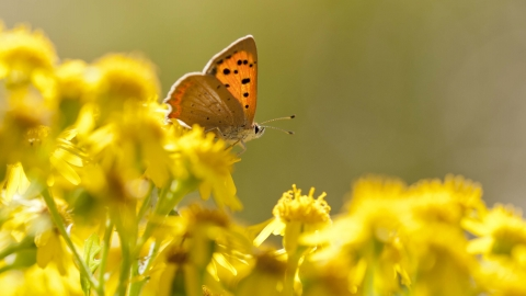 Small Copper butterfly on Common Ragwort
