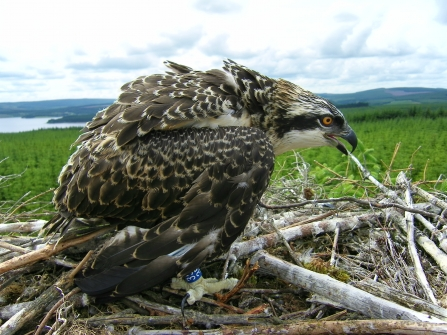 Kielder osprey guarding its nest - Forestry Commission England