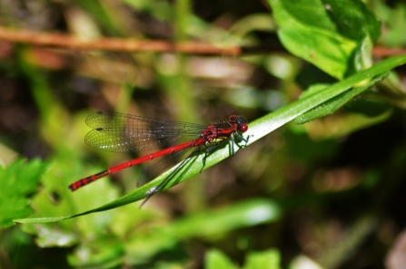 Large red damselfly - James Common