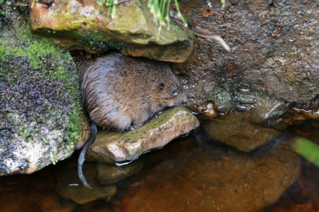 Water vole released into Kielder Water & Forest Park June 2017 - Katy Barke