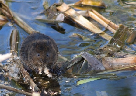 Water vole - Andrew Ramsay