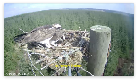 Ospreys at Kielder