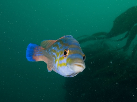 Male cuckoo wrasse - Paul Naylor
