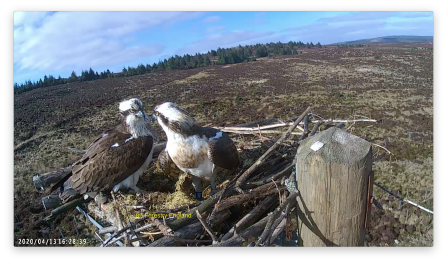 Ospreys Mr and Mrs W6 getting reacquainted - Forestry England