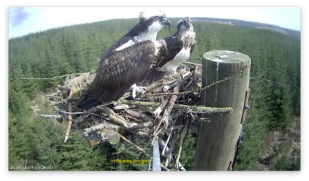 Ospreys Mr and Mrs YA settling in - Forestry England