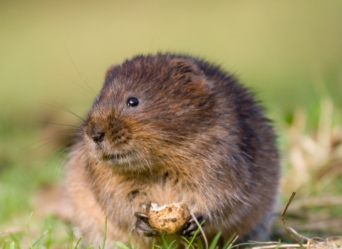 Water vole feeding Tom Marshall