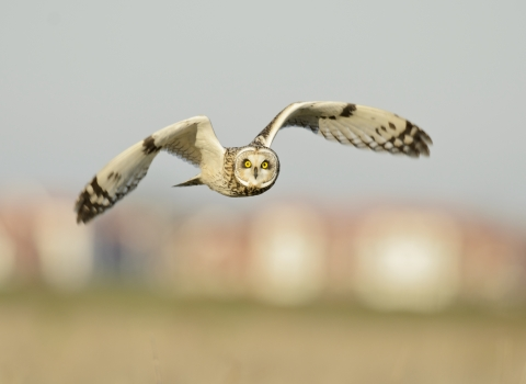 Short eared owl - Terry Whittaker/2020VISION