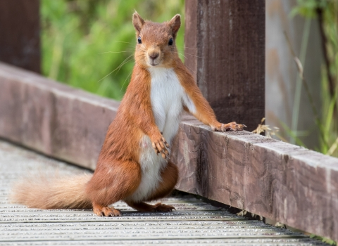 Leaning red squirrel - Tim Mason