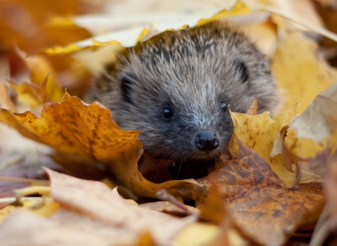 Hedgehog in autumn leaves - Tom Marshall